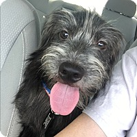 Schnauzer (Miniature)/Cairn Terrier Mix Dog for adoption in White Settlement, Texas - Toto