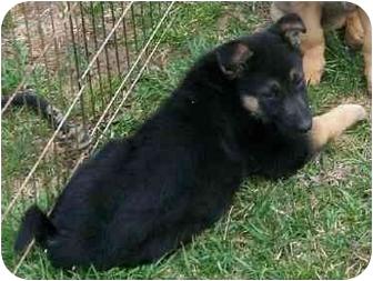 German Shepherd Dog Puppy for adoption in Gallatin, Tennessee - CUDDLE QUEEN