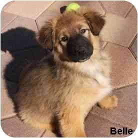 Shepherd (Unknown Type) Mix Puppy for adoption in Redondo Beach, California - Bella