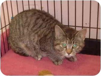 Manx Cat for adoption in Honesdale, Pennsylvania - Ursla