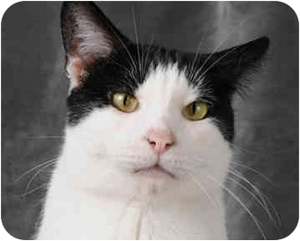 Domestic Shorthair Cat for adoption in Chicago, Illinois - Mikki