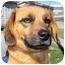 Photo 2 - Dachshund/Labrador Retriever Mix Dog for adoption in Mahwah, New Jersey - Gabriella