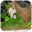 Photo 2 - Calico Kitten for adoption in Cleveland, Ohio - Little Pumpkin