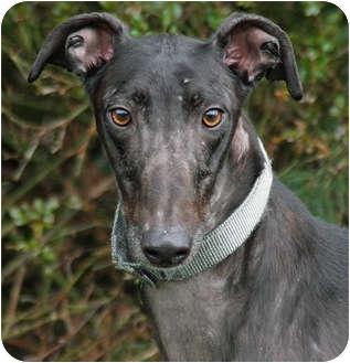 Greyhound Dog for adoption in Portland, Oregon - Chimmy