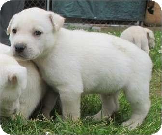 Husky/Labrador Retriever Mix Puppy for adoption in Salem, Oregon - Billy