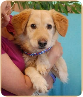 Golden Retriever Mix Dog for adoption in Las Vegas, Nevada - Vegas