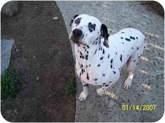 Dalmatian Dog for adoption in Pacific Grove, California - Susi
