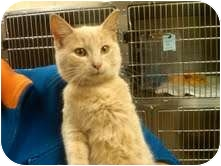 Domestic Shorthair Cat for adoption in Medina, Ohio - Jack