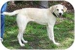 Labrador Retriever Mix Dog for adoption in Summerville, South Carolina - Bram