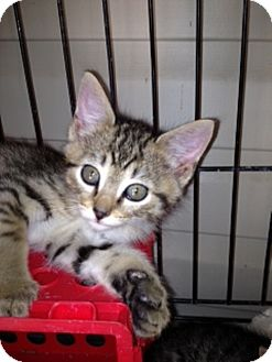 American Shorthair Kitten for adoption in Spring Valley, New York - Arielle