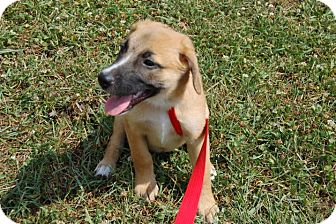 German Shepherd Dog/Labrador Retriever Mix Puppy for adoption in Lexington, Kentucky - Sandy