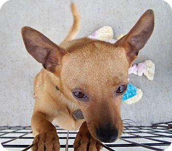 Chihuahua Mix Dog for adoption in Greensboro, Georgia - Cisco
