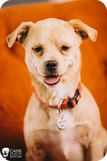 Pug/Corgi Mix Dog for adoption in Portland, Oregon - Darby