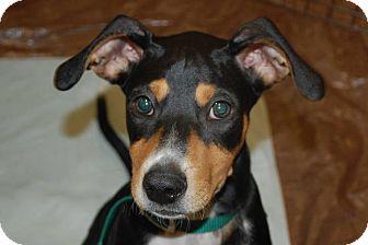 Collie/Spaniel (Unknown Type) Mix Puppy for adoption in Lexington, Kentucky - Decon