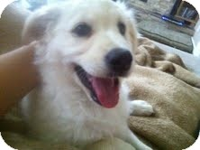 Labrador Retriever Mix Puppy for adoption in Okotoks, Alberta - Cotton