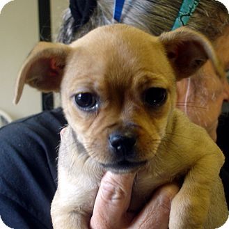 Brussels Griffon/Chihuahua Mix Puppy for adoption in Greencastle, North Carolina - Nestle