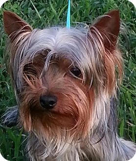 Yorkie, Yorkshire Terrier Dog for adoption in Washington, D.C. - Miles