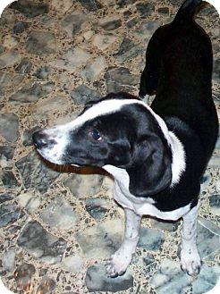 Catahoula Leopard Dog/Beagle Mix Dog for adoption in Bluemont, Virginia - SADIE