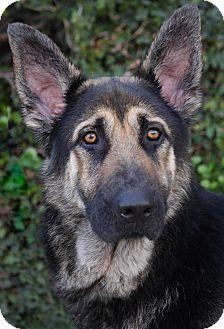 German Shepherd Dog Mix Puppy for adoption in Los Angeles, California - Luggher von Lemgo