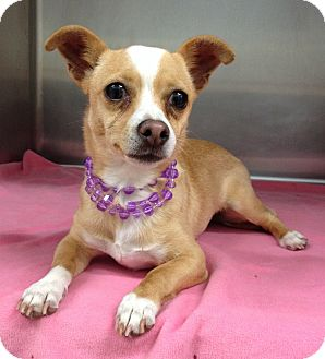 Chihuahua/Terrier (Unknown Type, Small) Mix Dog for adoption in Dublin, California - Georgia