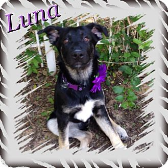 German Shepherd Dog Mix Puppy for adoption in Fort Worth, Texas - LUNA
