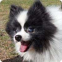 Adopt A Pet :: Hachi - Madison, WI