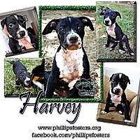 Adopt A Pet :: Harvey - Colleyville, TX