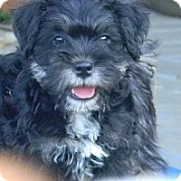 Adopt A Pet :: Scruffy - cameron, MO