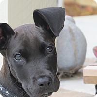 Adopt A Pet :: *Bo - PENDING - Westport, CT