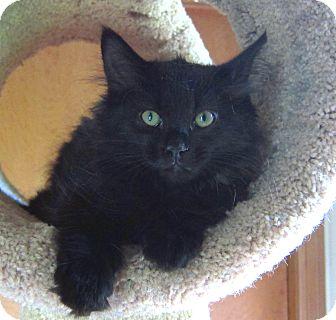 Domestic Mediumhair Kitten for adoption in Roseville, Minnesota - Wendy
