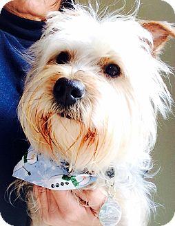Silky Terrier/Yorkie, Yorkshire Terrier Mix Dog for adoption in Pleasanton, California - Skye