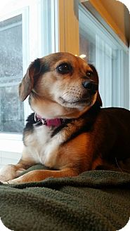 Beagle Mix Dog for adoption in Conway, New Hampshire - Charlene