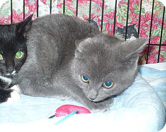 Domestic Shorthair Kitten for adoption in Colmar, Pennsylvania - Nicole