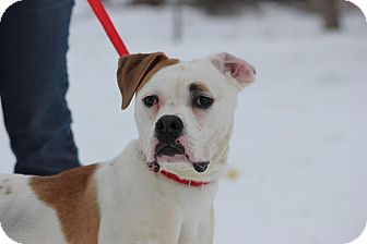 Boxer Mix Dog for adoption in Midland, Michigan - Prudy