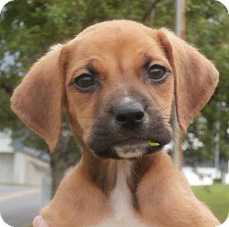Labrador Retriever Mix Puppy for adoption in Decatur, Georgia - Wade