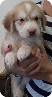 Australian Shepherd Mix Puppy for adoption in Corona, California - CHARLIZE
