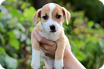 Beagle Mix Puppy for adoption in Salem, New Hampshire - PUPPY LUCY
