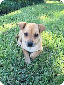Chihuahua/Labrador Retriever Mix Puppy for adoption in Eden Prairie, Minnesota - Sam