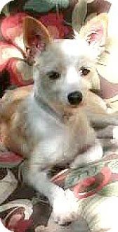 Schnauzer (Miniature)/Rat Terrier Mix Dog for adoption in Boulder, Colorado - Elsa-ADOPTION PENDING