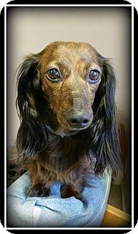 Dachshund Mix Dog for adoption in Indian Trail, North Carolina - Holly