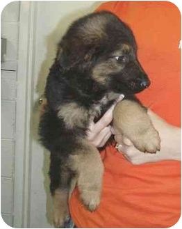 German Shepherd Dog/Golden Retriever Mix Puppy for adoption in Salem, New Hampshire - Cuervo
