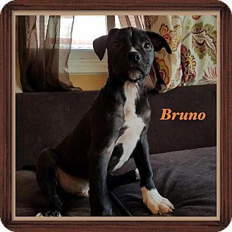 American Staffordshire Terrier Mix Puppy for adoption in Warren, Michigan - Bruno