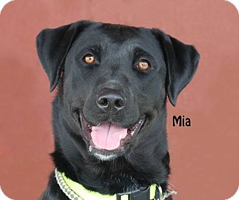 Labrador Retriever Mix Dog for adoption in Idaho Falls, Idaho - Mia