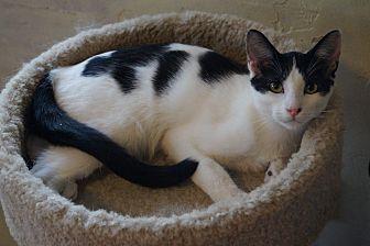Domestic Shorthair Cat for adoption in Alhambra, California - Nova