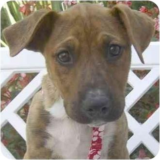 American Staffordshire Terrier/Basset Hound Mix Puppy for adoption in El Segundo, California - DyBack