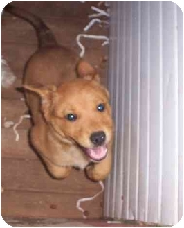 Golden Retriever/Labrador Retriever Mix Puppy for adoption in clinton, Oklahoma - Golden Boy