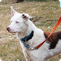 Adopt A Pet :: Indigo - Lebanon, CT