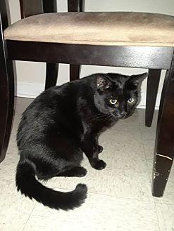 Bombay Cat for adoption in White Plains, New York - King haze