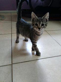 Domestic Shorthair Kitten for adoption in Land O Lakes, Florida - Taro
