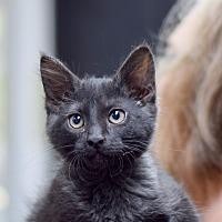 Domestic Mediumhair Kitten for adoption in Boise, Idaho - Wolfie